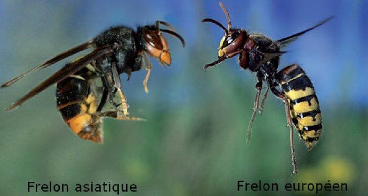 frelon-asiatique-et-europeen